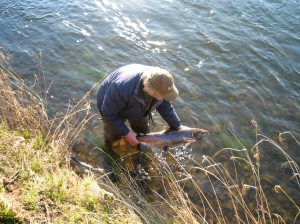 A coloured salmon is returned to the river.