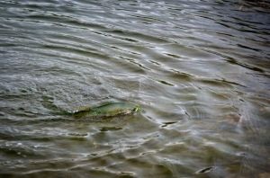 dabbler fish