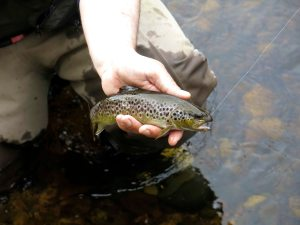 NWAngS Mourne Trout